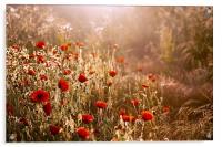 Morning light on Poppies, Acrylic Print