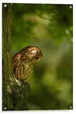 Tawny owl in the woods, Acrylic Print