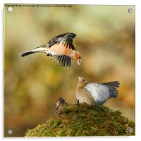 Bickering chaffinches, Acrylic Print