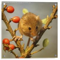Harvest mouse (Micromys minutus), Acrylic Print