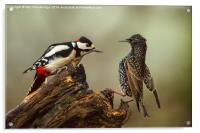 Stand off between woodpecker and starling, Acrylic Print