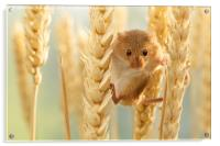 Harvest mouse in wheat stalks, Acrylic Print
