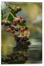 Harvest mouse on brambles with reflection, Acrylic Print