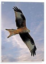 Red Kite, Acrylic Print
