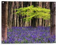 bluebell woodland, Acrylic Print