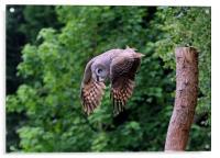 Great grey Owl, Acrylic Print