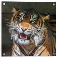 Sumatran Tigers, Acrylic Print