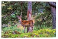 Highland Stag , Acrylic Print