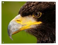 Intense gaze of Golden Eagle, Acrylic Print