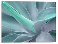 Agave Attenuata Abstract, Acrylic Print