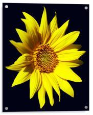 Glorious Sunflower, Acrylic Print