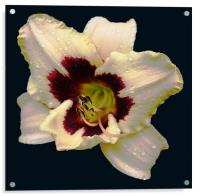 Glorious 2 Colour Lily, Acrylic Print