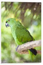 Yellow-naped Parrot, Acrylic Print