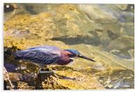 Green Heron fishing, Acrylic Print