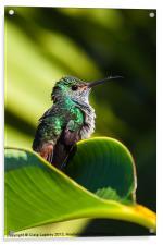 Hummingbird basking in dawn Sun, Acrylic Print