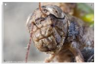 close-up of a crickets face, Acrylic Print