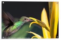hummingbird feeding, Acrylic Print