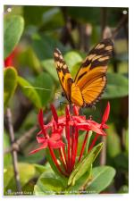 butterfly on red rubiaceae, Acrylic Print