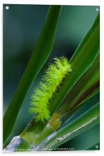 IO moth caterpillar, Acrylic Print