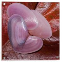 pink clam shells, Acrylic Print