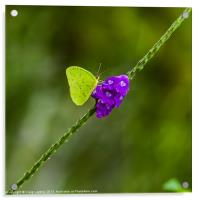 tropical green butterfly, Acrylic Print