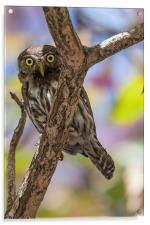 costa rican pygmy owl, Acrylic Print