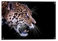 Jaguar snarling Paintover, Acrylic Print