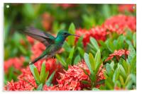 Hummingbird Flying, Acrylic Print