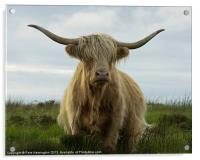 Highland cow, Exmoor, Acrylic Print