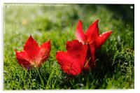 Beautiful Red Autumn / Fall Leaves, Acrylic Print