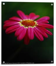 Pink Daisy, Acrylic Print