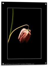 Fritillaria., Acrylic Print