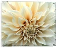 Beautiful Cream Dahlia Flower, Acrylic Print