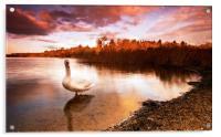 Swan On The Lake, Acrylic Print