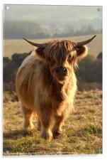 Young Highland Cow, Acrylic Print