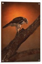 BIRD OF PREY, Acrylic Print