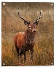 Deer at Glencoe, Acrylic Print