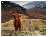 Baby Highland Cow, Acrylic Print