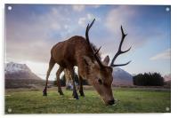 Highland Deer, Acrylic Print