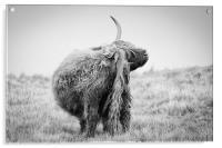 Highland Cow Scratching, Acrylic Print