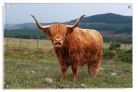 Highland Cow, Acrylic Print