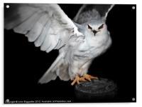 Black-shouldered Kite, Acrylic Print
