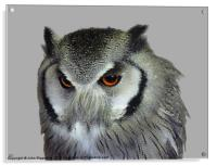 Southern white-faced owl, Acrylic Print