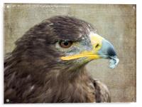 Golden Eagle, Acrylic Print