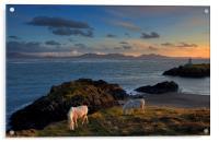 Llanddwyn Ponies, Acrylic Print