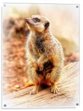 Meerkat, Acrylic Print