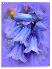 Bluebells from the Garden, Acrylic Print