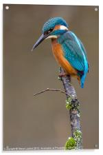 Common Kingfisher (Alcedo atthis), Acrylic Print