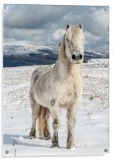 Welsh Mountain Pony, Acrylic Print