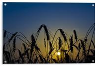 Wheat Sunrise, Acrylic Print